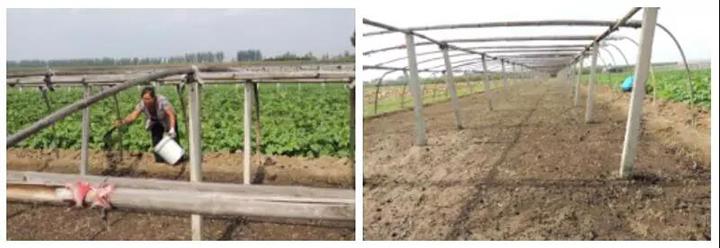 韭菜破茬期施用烟茎生物有机肥