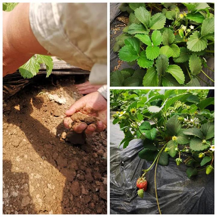高品质的草莓,每斤40元卖价可以实现